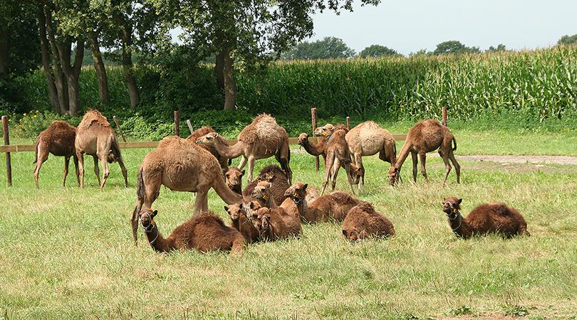 kamelen boerderij